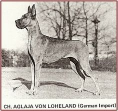 "Aglaja was imported by Rosemarie Roberts (Dinro) from Mrs. Von Rohden's von Loheland Kennels in Germany. One of Dinro's two foundation bitches. She was heavily inbred on the Saalburg line, particularly the famous Ch Dolf vd Saalburg. Her littermate ""CH Aslan von Loheland"" went to Cairndania. He was an outstanding brindle and was several times a Best in Show winner."