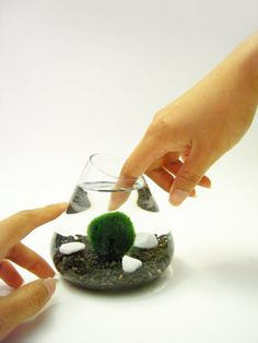 Marimo Pet Ball. Or moss ball from the Akan Lake in Japan. Poke it once in a while to keep it happy and give each side a chance to get some light.