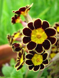 'Victoriana Gold Laced' primrose