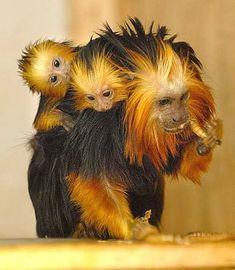 Golden Lion Tamarins (Brazil)