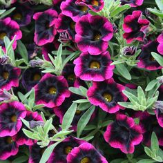 "Superbells® Blackberry Punch - (Calibrachoa hybrid). A Real Simple magazine - ""Top 10 goofproof Plant"". Annual, full sun, wonderful trailing plant that continuously blooms.  Great for planters.  Hummingbirds love them."