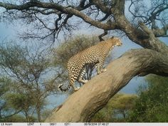 Leopard sighted at Chem Chem during a safari organised by The Safari Collection to Tanzania.