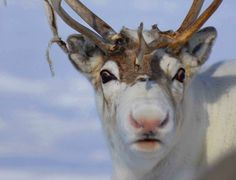 Why Rudolph's Nose is Red by Makin Brice:  Rangifer tarandus - native to the Arctic regions in Alaska, Canada, Greenland, Russia, and Scandinavia have a rich density of micro vessels in their noses. Thermal imaging reveals that while exercising, their noses can reach 75 degrees Fahrenheit, warm for reindeer. This finding indicates that the function of these blood vessels may be to regulate body temperature. Photo by Kia Kemp, BMJ http://www.bmj.com/content/345/bmj.e8311  #Reindeer #Red_Nose