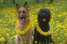 Dog breed larawan larawan