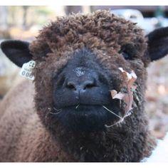 Babydoll Southdown sheep. Kellane Farm. www.kellanefarm.com