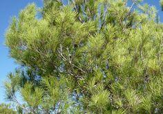 tree, aleppo pine