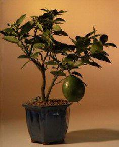 ✿ڿڰۣ(̆̃̃•Aussiegirl flowering lemon Bonsai