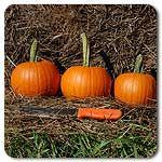 Organic Baby Pam Pie Pumpkin