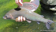CasterBridge Grayling Fishing