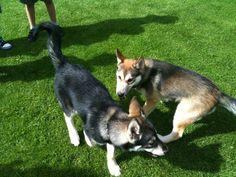 Husky, meet broski