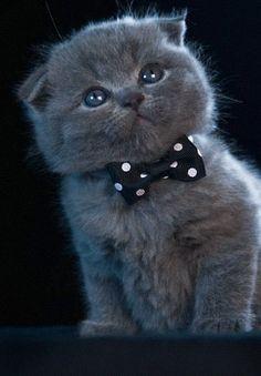 Blue Scottish Fold kitten....wearing a bowtie....<3