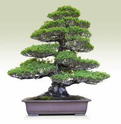 Bonsai : Goyomatsu(Japanese white Pine)/height 31.5inches(80cm)/Width 31.5inches(80cm)/about 70 years old/Ideue Kikko-en