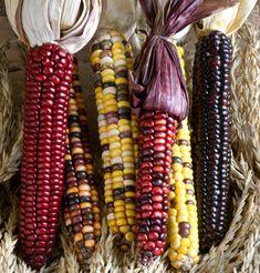 Painted mountain corn