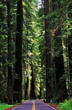 """Highway 101 through Redwood National Park in northern California is called the """"Avenue of the Giants"""""""