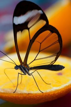 """Clearwing Butterfly.  How transparent - a good thang. """"I want to be one of those rare Christians whose very presence incites others to also be better Christians."""" ~ A.W. Tozer"""