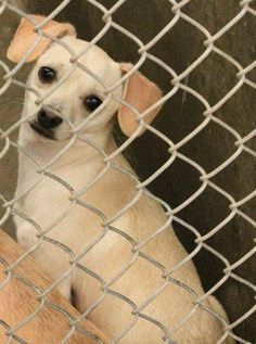 Chihuahua male 1-2 years old Kennel A11 Available NOW! $51 to adopt Located at Odessa, Texas Animal Control. 432-368-3527