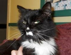 Jerry is an adoptable Domestic Long Hair Cat in Ridgely, MD. This handsome cat is named Jerry and he is searching for his forever home today! Jerry was a stray unfortunately who showed up at a kind pe...