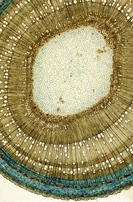 microscopic image of the cross section of a sapling.