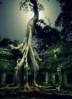 For the love of trees in Cambodia's Ankor Wat.