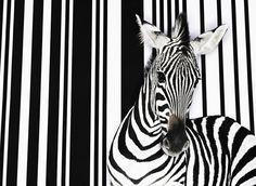 Zebra.jpg (600×439)