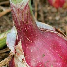 Best advice on growing onions.