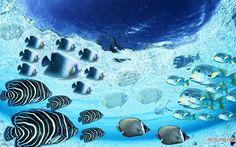 beauti butterfli, googl search, sea creatures, sea wold, butterfli fish