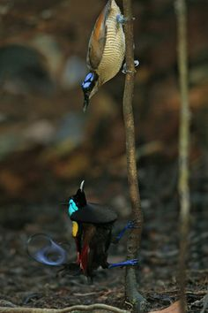 """""""A Wilson's bird of paradise adult male displaying to a female above."""" by National Geographic"""