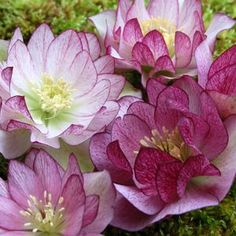 Peppermint Ice Helleborus- very drool-worthy, but alas, not for my zone...:(