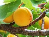 Apricot pits as cancer treatment