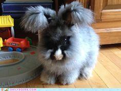 Beatrix, an English Angora Bunny