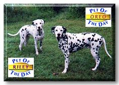 """My first 2 Dalmatians. Oreo & Riley, voted """"Pet of the Day"""" October 9, 1997."""
