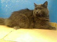 URGENT NY - This gorgeous grey american longhair mix is SHADOW, a 4 yr old boy that weighs 11 pounds. Besides being so handsome : ), he is also a friendly guy. If you want to adopt this sweet boy or if you can foster, please click on the photo, or this link.  http://petharbor.com/pet.asp?uaid=NWYK1.A0949262  SHADOW - ID#A0949262