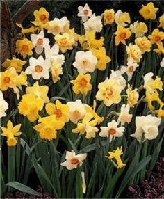 Great advice for planting spring-blooming bulbs in the autumn plant springbloom, green thumb, plant bulb, pointer, bulbs, garden, add color, bulb plant, flower