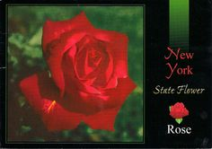 The State Flower of NY is the Rose