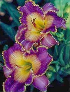 Daylily 'Azure Violets'