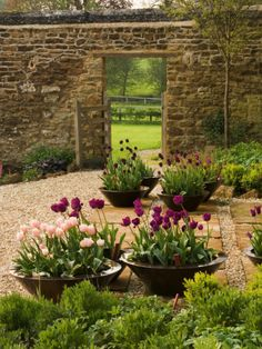 walled garden with tulip bowls