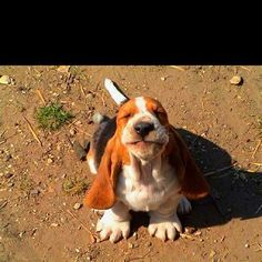 OMG basset puppies