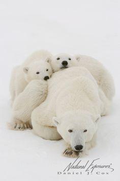 Polar family portraits  (copyright: Daniel J. Cox)
