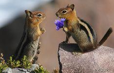 blue flowers, chipmunk, squirrel