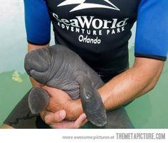 Baby manatee