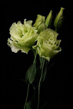 Lisianthus green