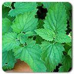 organ garden, medicin plant, mow organ, culinari plant, organ seed, organ culinari, organ catnip