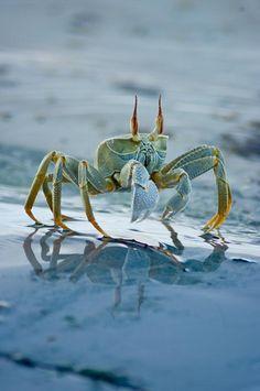 Crabs by aussieSkiBum, via Flickr #Blue_Crab