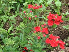 A Red Flowering Common Verbena in the Garden, Verbena x hybrida--good tips on propagating verbena