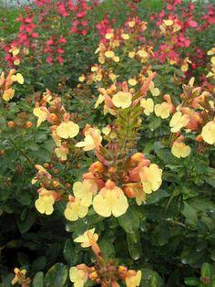 Salvia Suncrest 'Golden Girl'