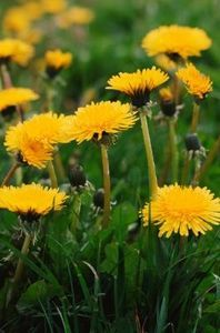 Kill those dandelions and still let your kids run barefoot in the grass. Vinager and Salt!