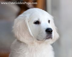 White, English Cream Golden Retrievers
