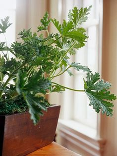 Most commonly grown outdoors as bedding plants, geraniums are great houseplants: http://www.bhg.com/gardening/houseplants/projects/houseplants-for-the-forgetful-gardener/?socsrc=bhgpin101514geranium&page=2