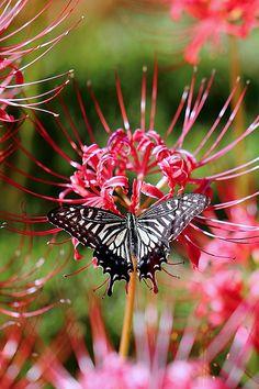 Lycoris radiata & Papilio xuthus 曼珠沙華とアゲハチョウ
