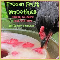 I make this frozen fruit smoothie ice ring for my chickens to help them beat the heat and they love it! When water is added to the ice ring, POW, Pullet Punch! Not only does the icy cold water encourage hydration, it gives chickens a natural sugar boost during energy-sapping weather when feed intake declines.